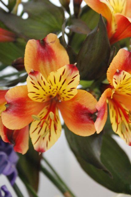 orange-alstromeria-blog